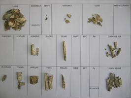 Ossements déterminés issus du décapage de l'urne 237